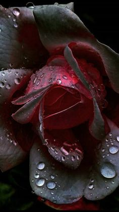 Enchanted Black Rose Flower, Beautiful Rose Flowers, Beautiful Flowers Wallpapers, Romantic Flowers, Exotic Flowers, Amazing Flowers, Pretty Flowers, Purple Flowers, Beautiful Gardens