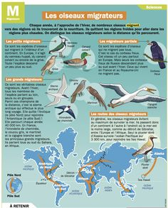 Fiche exposés : Les oiseaux migrateurs                                                                                                                                                                                 Plus Primary Science, Science Biology, Flags Europe, Garden Workshops, French Resources, Idioms, Learn French, French Language, Foreign Languages