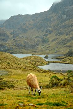 Llamas in Cuenca, Ecuador --- Photo taken by Esmeralda Spiteri Cuenca Ecuador, Ecuador Animals, The Places Youll Go, Places To See, Beautiful World, Beautiful Places, Costa, Chili, Equador