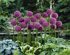 Allium Bulbs (Giant) - Globemaster