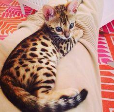 Bengal Kitten | Scott  Kourtney