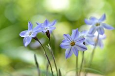 https://flic.kr/p/rj2oiR   Spring star   ハナニラ(花韮)            in my garden 学名 Ipheion uniflorum
