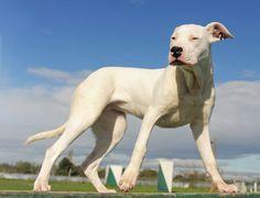 full grown daniff Great Dane/Mastiff mix Dogs