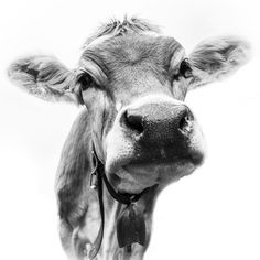 Swiss cow Swiss cow photography Günter Lenz -Gives the picture in my c . Cute Baby Cow, Baby Cows, Cute Cows, Farm Animals, Animals And Pets, Cute Animals, Animals Black And White, Cow Pictures, Cow Painting