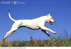 Dogo Argentino running outdoors
