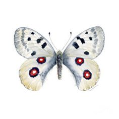 Print featuring the painting 28 Apollo Butterfly by Amy Kirkpatrick