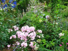 """Roses du jardin Chêneland: Phlox paniculata """"Lichtspel"""""""