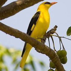 EURASIAN GOLDEN ORIOLE  (Oriolus oriolus) -  [photo Shashank Jain ©]   - has a  sharp, stout bill which is highly effective at plucking insects or berries from vegetation, as well as tearing flesh off small vertebrate prey. The positioning of its toes, with one pointing backward and three pointing forward, allows it to grip branches with ease. It has an unmistakable song that alerts all around to it's presence and is said to sound very fluty and can be heard over considerable distances.