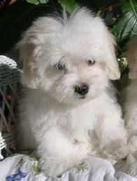 Coton de Tulear - the best dog ever!. I don't ever pin dogs but I want him
