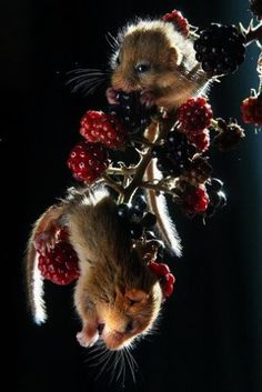 The dormouse is a rodent of the family Gliridae. Dormice are mostly found in Europe although some live in Africa and Asia. They are particularly known for their long periods of hibernation. Wikipedia