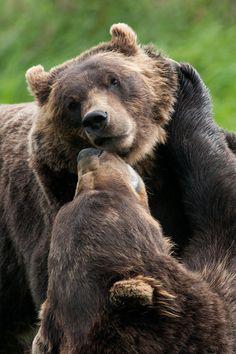 Brown Bears - a pair of brown bears having some summertime fun up in Alaska ♥