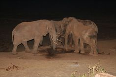 2009+September+19+Tsavo+Elephants+at+night.jpg 1,600×1,067 pixels