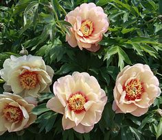 Image result for callie's memory hybrid itoh peony