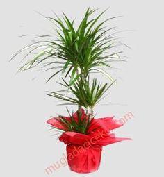 http://sultangazicicekcilik.com/Urun_Detay-Benjamin_Saksi_Cicegi-34  Sultangazi çiçekçi sitesinde birbirinden güzel saksı çiçekleri , benjamin çiçekleri sizi bekliyor