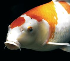Fish viral diseases can be prevented through quarantining the new fish