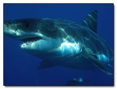 6 Animals that Kill Nature's Scariest Creatures for Fun. ((photographed: the great white nightmare))
