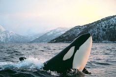 Orca off the coast of Norway