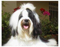 Tibetaanse terrier <3