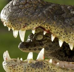 Baby alligator rides on mother's head to keep dry and catch some sun