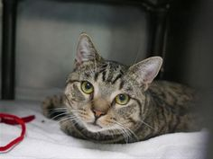 GENO - 11571 - - Brooklyn  ***TO BE DESTROYED 11/15/17***  AVERAGE RATED!!  ONE YEAR OLD GENO IS GOOD WITH OTHER CATS AND WANTS TO BE YOUR NEW BEST FRIEND!!   GENO is a year old boy whose owner brought to the shelter because she had too many pets to care for.   GENO lived with several other kitties and was good with them.  He is a calm, sweet, but independent boy who would love to have a home of his own for the holidays!  PLEASE RESERVE GENO BY NOON!! -  Click for info &