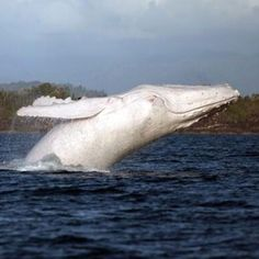 """While some humpback whales have been seen that are mostly white, Migaloo of Australia is the only one documented as pure white. View a stunning video and photos of this creature, who was first spotted in 1991 and whose name means """"white fella."""""""
