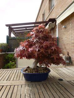 #bonsai acer Palmatum de soho
