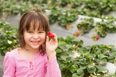 Where to find pick-your-own strawberries: Kick off the summer with a trip to a local strawberry patch to pick sweet ripe berries. Durham Region, Strawberry Patch, Royalty Free Images, Strawberries, Asian Girl, Kicks, Patches, Parenting, Peterborough