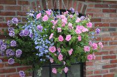 hanging basket with surfinia's in pink and purple combined with lobelia. Hanging basket met roze en paarse surfinia's en hanglobelia.
