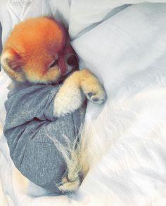GünaydınEn tatlı haftalarımız olsun inşallah... #photocredit @jiffpom #snapchat #love #cute #puppy #dog #animals #monday #newweek #nosyndrome by ozgeulusoy