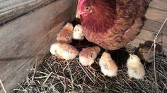 kako izgledaju prirodni pilici stari 5 dana Chicken Life, Bird, Birds