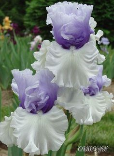 Iris 'Wintry Sky' | Spring - Nature