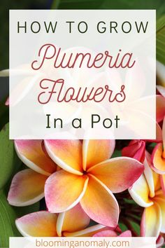 Enjoy a tropical look in your garden by growing plumeria flowers. Grow plumeria in pot on your porch or balcony. These tropical trees don't need much room to grow. Click on the pin to learn how to grow these beautiful flowering trees in pots.