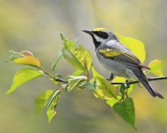 Golden Winged Warbler (Vermivora chrysoptera) from http://birdsandbeans.tumblr.com/tagged/Shade-coffee-birds    One of the many migratory species of birds return to New England and affect by our coffee habits.