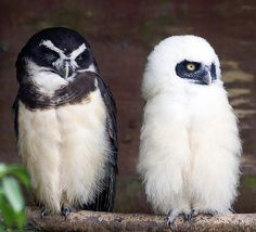 Spectacled Owl Mother and Baby