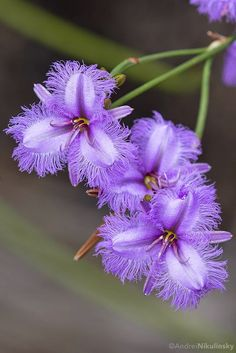 Purple flowers are a great way to add interest to your yard or landscape. See some of our favorite purple garden flowers! flowers flowers names wedding flowers Unusual Flowers, Rare Flowers, Flowers Nature, Amazing Flowers, Purple Flowers, Wild Flowers, Beautiful Flowers, Beautiful Things, Purple Lily
