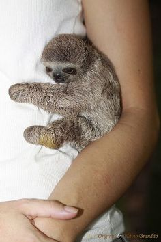 Cuddle sloth