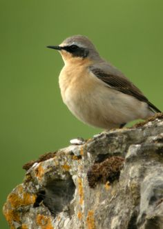 Wheatear  Col's Digiscope Blog: Dormans Pool and Bishop Middleham