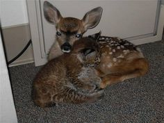 a wildfire in Santa Barbara, California last month helped forge some unlikely bonds. Rescued from the Jesusita fire, a 3 week old bobcat kitten and 3 day old fawn became fast friends. The animal rescue in California brought predator and prey together. But these babies simply took comfort in each other's company, snuggling under a desk at a dispatch office for hours