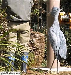 Cute shoebill asks his owner for head rubs