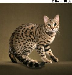 Ravi, a Brown Spotted Bengal male...looks to be very close to his Asian Leopard Cat ancestor - Helmi's description