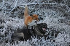 Fox and dog meet in the woods, form adorable friendship Fox Dog, Dog Cat, Animals Beautiful, Cute Animals, Unlikely Friends, Disney, The Fox And The Hound, Fauna, Bored Panda