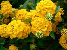 yellow hydrangeas!