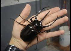 Strongest Animal - The rhinoceros beetle can push around 850 times its weight.