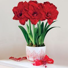 3-in-1 Grand Trumpet® Double Ruffle Amaryllis: This holiday favorite is simply gorgeous, and will provide months of living beauty to anyone you give it to. The entire Grand Trumpet® line of Amaryllis is known for exceptionally large and long-lived blooms, and the double ruffle improves upon that with its greater volume of fine-textured petals. -- This product is no longer available, however click the image to see this year's Amaryllis Bulb Gifts!