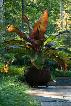 Iron Urn with Banana Plant contemporary-landscape Landscape Materials, Landscape Plans, Landscape Design, Sun Plants, Foliage Plants, Tropical Garden, Tropical Plants, Container Plants, Container Gardening