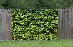 Brise vue haut vigne vierge Outdoor Structures, Green, Nature, Relax, Gardens, Garden Hedges, Close Board Fencing, Naturaleza, Nature Illustration