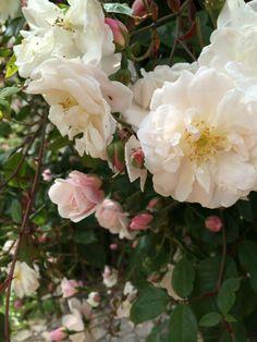 Rose Adelaide d'Orleans