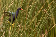 A Purple Gallinule at the Green Cay Wetlands.  see more at: https://flic.kr/s/aHsjYk9xBj
