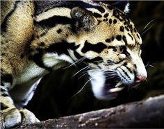 Selina's preserve: The Catitat [Clouded Leopard]