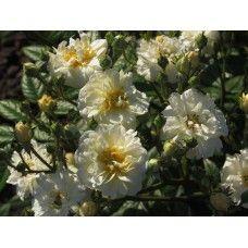 Lemon Rambler(Лемон Рамблер) Plants, Plant, Planting, Planets